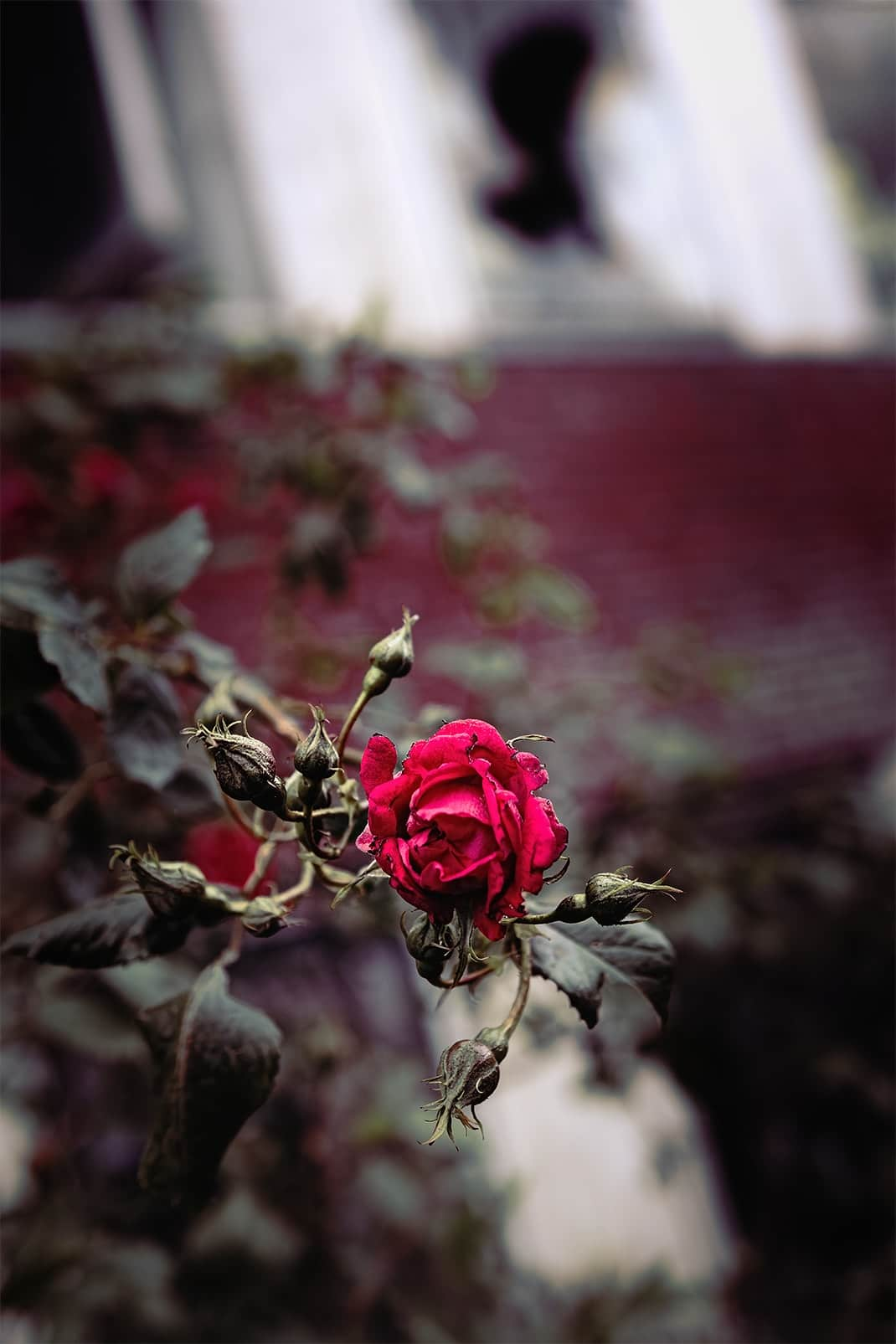 lost rose in old industry